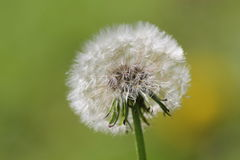 Taraxacum Photographie stock