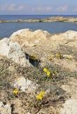 Taraxacum aphrogenes Royalty Free Stock Photos