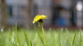 Taraxacum campylodes, κίτρινο λουλούδι του νέου dandellion στον πολύβλαστο πυροβολισμό γωνίας χλόης μακρο βλασταημένο χαμηλό φιλμ μικρού μήκους