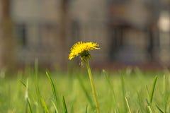Taraxacum campylodes, yellow flower of young dandellion in lush grass macro shot. Low angle shot Royalty Free Stock Photo