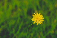 Taraxacum common dandelion yellow flower contrasting to green bl Stock Photo