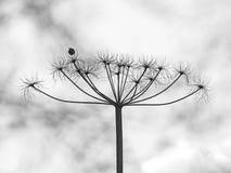 Taraxacum, dandelion Zdjęcie Stock