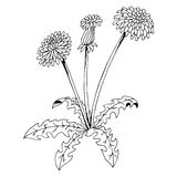 Taraxacum dandelion flower graphic art black white  illustration Stock Photography