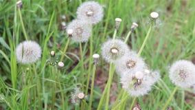 Taraxacum dandelion ruszający się od wiatru zdjęcie wideo
