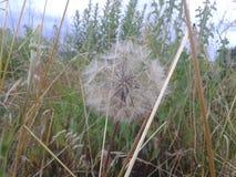 Taraxacum Erythrospermum Stock Afbeeldingen