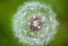 Taraxacum Flower, Italy Royalty Free Stock Image