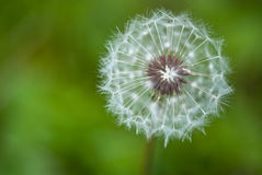 Taraxacum Flower, Italy stock image