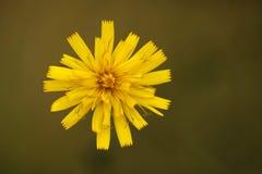 Taraxacum flower Royalty Free Stock Photography