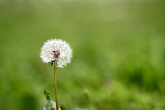 Taraxacum royalty free stock photos