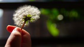 A close-up of a dandelion stock photos