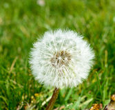 Taraxacum Stock Photo