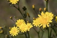 Taraxacum jaune, pissenlits détaillés à un bel arrière-plan image libre de droits