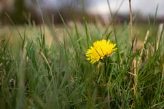 Spring Dandelion plant in park stock photos
