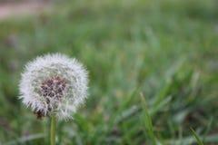 Dandelion Seed head Macro stock images