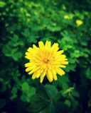 Taraxacum mongolicum Royalty Free Stock Images