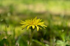 Taraxacum mongolicum Hand.-Mazz. Perennial herbs of the Compositae. Capitate, white crested a pompon on the seeds, flowers after the wind to a new place to the Royalty Free Stock Photo
