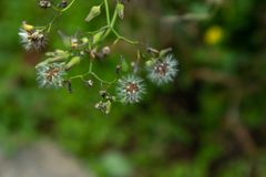 Taraxacum mongolicum Hand.-Mazz. Perennial herbs of the genera of the genus dandelion. Root conical, brownish brown, shrunk, sometimes wavy or pinnate, the base Stock Images