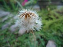 Taraxacum officianale kwiat sri lanka zdjęcia royalty free