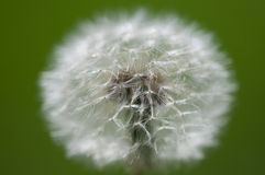 taraxacum officinale одуванчика Стоковое Фото