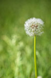 Taraxacum officinale Royalty Free Stock Photo