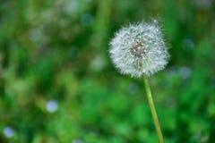 Taraxacum officinale - allgemeiner Löwenzahn - Hauch Senecio gemein - groundsel Blumenanlage lizenzfreies stockfoto