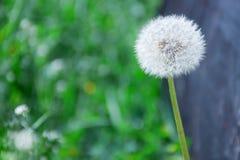 Taraxacum officinale - allgemeiner Löwenzahn - Hauch Senecio gemein - groundsel Blumenanlage stockbilder