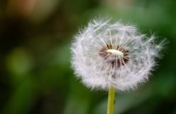 Taraxacum officinale dandelion pappus ball fruit. The taraxacum officinale common dandelion ball or blowball or clock fruit blowing in a garden royalty free stock images