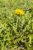 Taraxacum officinale (common dandelion, dandelion) Royalty Free Stock Image