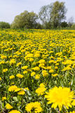 Taraxacum officinale (common dandelion, dandelion) on the meadow Stock Images