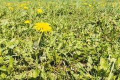 Taraxacum officinale (common dandelion, dandelion) in the meadow Royalty Free Stock Photos