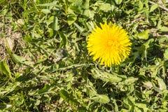 Taraxacum officinale (common dandelion, dandelion) - yellow flower Royalty Free Stock Images