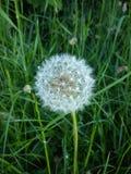 Taraxacum officinale common dandelion Stock Photography