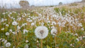 Taraxacum officinale, common dandelion, white blowballs of silver tufted fruits on cloudy spring morning, nature background photo. Taraxacum officinale, common Royalty Free Stock Images