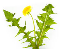 Taraxacum officinale, Dandelion. Flowers in studio against a white background stock photography