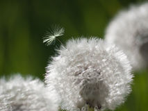 Taraxacum Officinale or dandelion Stock Photography