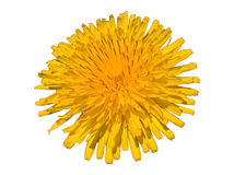 Taraxacum Officinale Dandelion - Bliss Isolated. Yellow flower in the sunbeams. White background royalty free stock photo