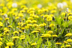 Taraxacum officinale Stock Photos