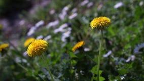 Taraxacum officinale, dandelion na słonecznego dnia zakończeniu up zdjęcie wideo
