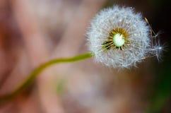 Taraxacum officinale dandelion pappus ball fruit blows. The taraxacum officinale common dandelion ball or blowball or clock fruit blowing in the wind in a garden stock image