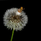 Taraxacum officinale. Dandelion seedhead aka clock, over black Stock Photos