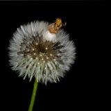 Taraxacum officinale. Dandelion seedhead aka clock, over black. Nature detail. Some golden yellow florets still attached Stock Photos