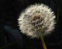 dandelion, macro view, Taraxacum officinale stock image