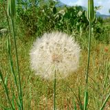 Taraxacum officinale  or dandelion on summer meadow. Dandelion puff ball with ready to flying dispersing seeds on colorful summer meadow near village stock photography