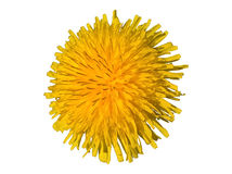 Taraxacum Officinale Dandelion - Sunny Isolated. Yellow flower turning after the sun. White background stock photo