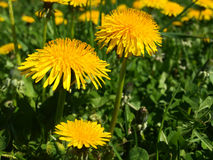 Taraxacum officinale, dandelion Royalty Free Stock Images