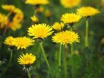 Taraxacum officinale in fiore fotografie stock