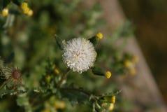 Taraxacum Officinale Flor del diente de león Descensos congelados del agua Fotos de archivo