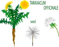 Taraxacum Officinale Royalty Free Stock Images