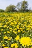 Taraxacum officinale pospolity dandelion, dandelion na łące (,) Obrazy Stock