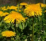 Taraxacum officinale, yellow dandelion Royalty Free Stock Image